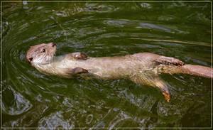 European otter swimming by Triumfa
