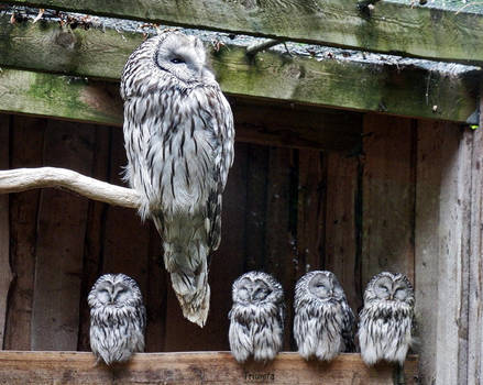Owls by Triumfa