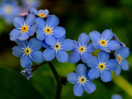 Beautiful Blues 4 by Forestina-Fotos
