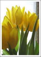 Yellow Tulips by Forestina-Fotos