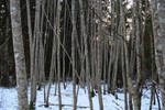 Winter forest 1193 by MASYON
