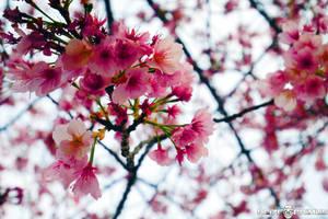 Plum Blossoms - Hibiya Park by raveka