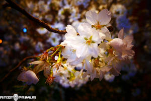 Sakura Blossoms - Haneda by raveka