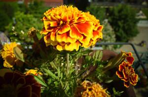 Yellow flower on my balcony by jajafilm