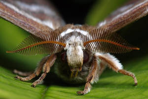 Moth's head II by VeVe-350Z