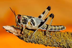 Desert locust by VeVe-350Z