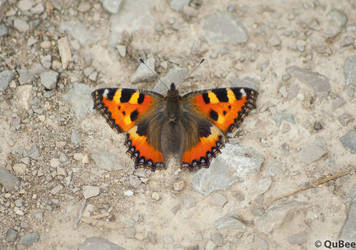 butterfly relaxing by QuBee24
