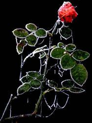 Frozen Rose by PaulEberhardt