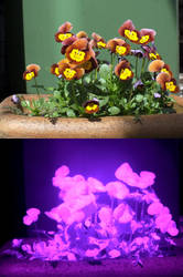 Pansies affected by the Colour out of Space by PaulEberhardt