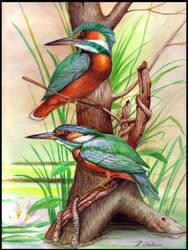 KINGFISHERS by THEDOC4