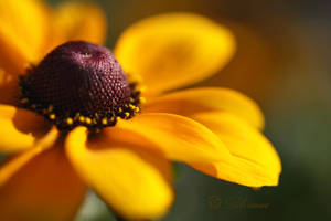 Golden brown by wiwionart