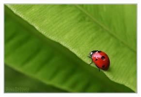 Ladybug by DianePhotos