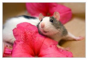 Mani 3 - Fancy rat by DianePhotos
