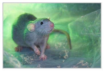 Aegir 1 - Fancy rat by DianePhotos