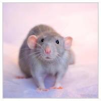 Aegir 6 - Fancy rat by DianePhotos