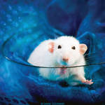 Belial 7 - Fancy rat by DianePhotos