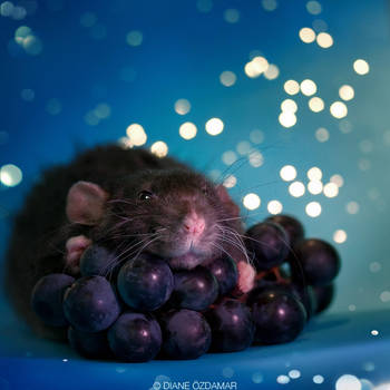 Arkanys 28 - Fancy rat by DianePhotos