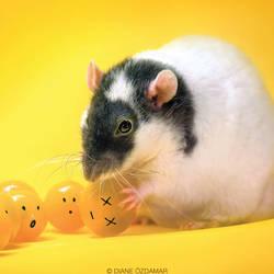 Lothar 2 - Fancy rat by DianePhotos
