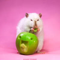 Lorich 13 - Fancy rat by DianePhotos