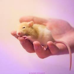 Feirefiz 1 - Fancy rat by DianePhotos
