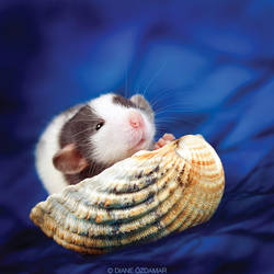 Taz - Fancy Rat by DianePhotos