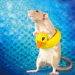 Yuko - Fancy Rat by DianePhotos