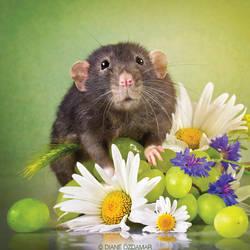 Hepha - Fancy Rat by DianePhotos