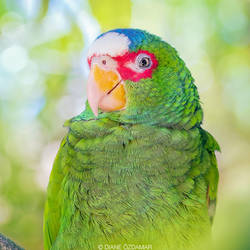 Portrait of a wild White Fronted Amazon parrot by DianePhotos