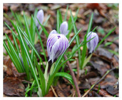 Crocus by baerin