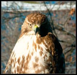 Broad-winged Hawk Portrait by ruindur