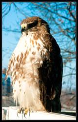 Broad-winged Hawk Half Profile by ruindur