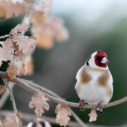 European Goldfinch by dukefsc