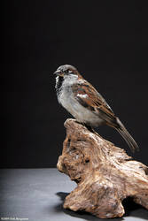 Taxidermy - Sparrow by Illahie