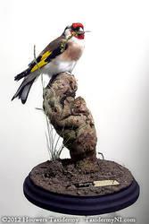 Taxidermy - Goldfinch by Illahie