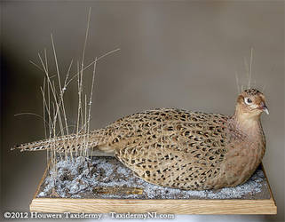 Taxidermy - Hen pheasant by Illahie