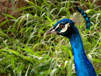 Blue Peacock by X-Ray-Dog