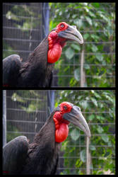 Southern Ground Hornbill by X-Ray-Dog