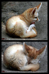Fennec Fox by X-Ray-Dog