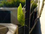 Walking Leaf by X-Ray-Dog