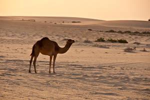 Camel by amai911