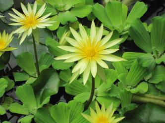 Lotus Flowers V by Justyne