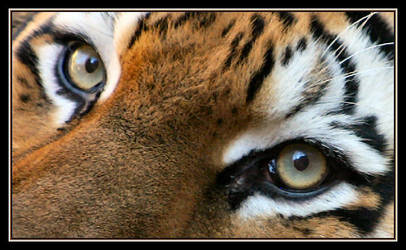 Oh those Tiger Eyes by Justaminute