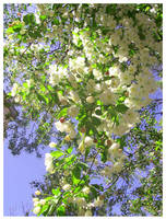 White Tree Flowers II by CrustyMuffin