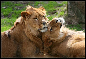 Lions by FirGeL