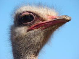 Ostrich by Alistanniel