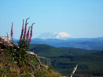Foxgloves and Mount Saint Helens by Tarraccas