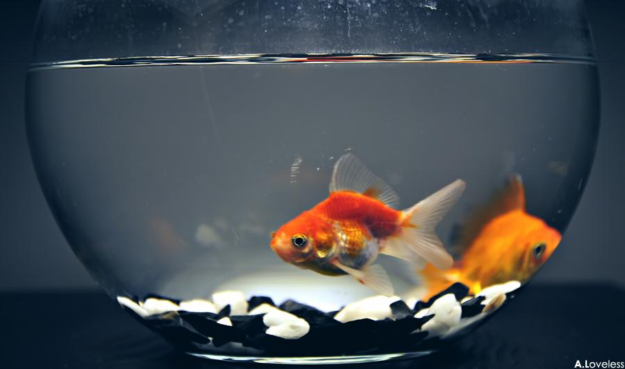 Golden Fish 2 By Aboodein