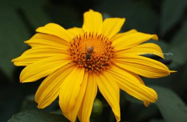Sunflower 3 by soldiette