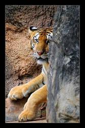Tiger by chunydia