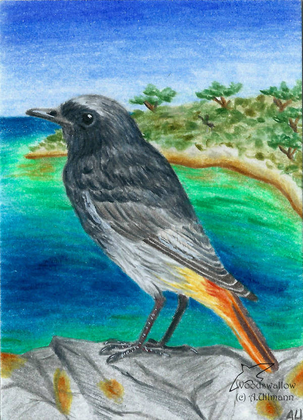 Black redstart (ACEO) by Woodswallow